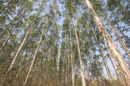Photo pour Très haute de l'arbre dans les forêts d'eucalyptus - image libre de droit