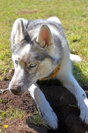 Dog Digging Damaging Turf