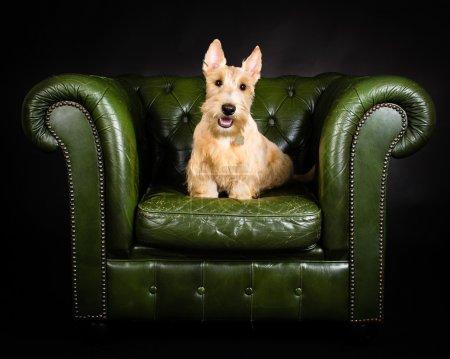 Wheaten Scottish Terrier