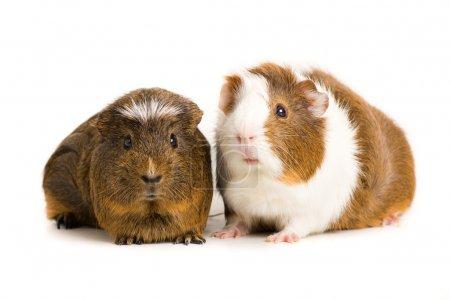 Cute guinea pig....