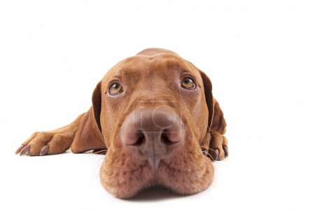 Photo pour Grand angle agrandi d'un chien de race pure d'or regardant vers le haut - image libre de droit