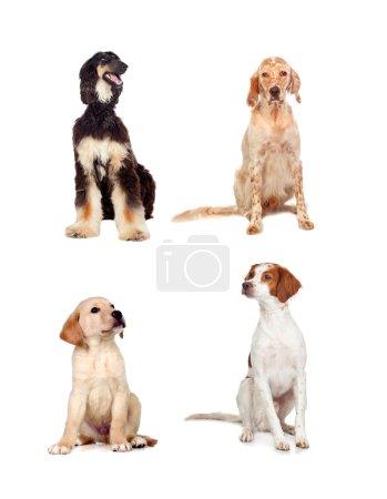 Foto de Cuatro perros de diferentes razas sentados aislados sobre fondo blanco - Imagen libre de derechos