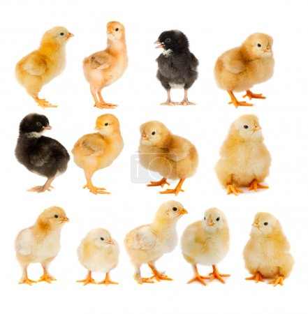 Collage of beautiful yellow and black chicks