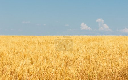 Photo pour Champ de blé et ciel bleu - image libre de droit