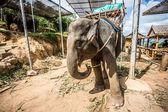 Sloní phuket