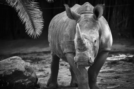 Photo for Black and white rhino - Royalty Free Image