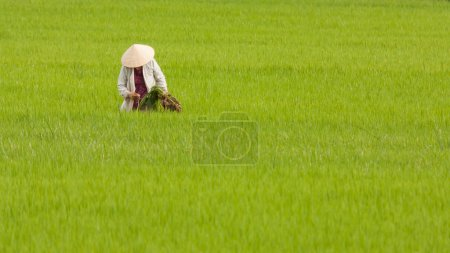Photo for Farmer working on a ricefield in Vietnam - Royalty Free Image