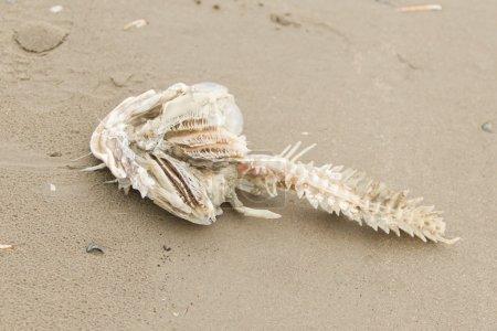 Photo pour Décomposition des carcasses de poissons morts échoués sur plage à gauche d'OS principalement poissons - image libre de droit