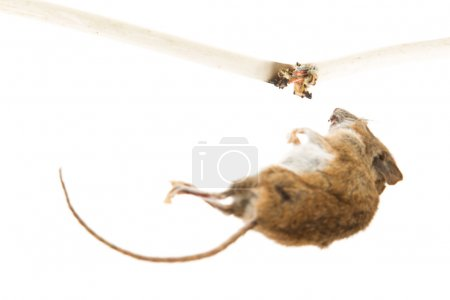 Mouse killed