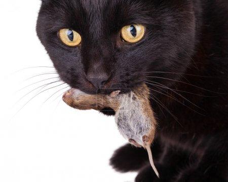 Black cat with his prey