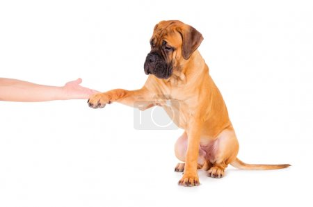 bullmastiff puppy isolated