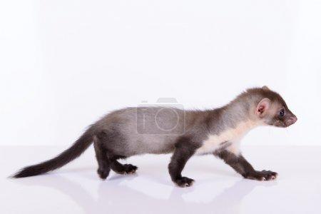 Photo pour Petit animaux furet rongeur sur fond blanc - image libre de droit