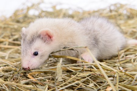 Photo pour Petit furet rongeur animal s'assoit sur le foin sec - image libre de droit