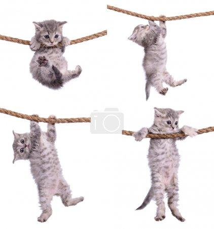 Photo pour Race tabby écossais de quatre petits chatons de rayures. animasl suspendu sur un câble isolé sur fond blanc - image libre de droit