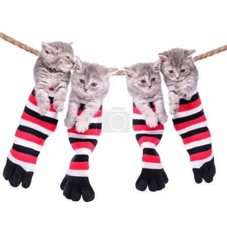Photo for Four small Scottish kittens sitting inside socks hanging from washing line. pets isolated on a white background - Royalty Free Image