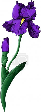 Illustration for Blue iris isolated on white background - Royalty Free Image