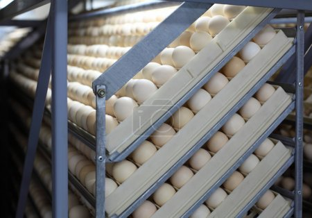 Chicken eggs in incubator