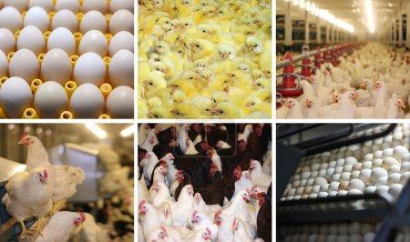 Chicken farm - multiscreen