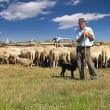 Shepherd with his dog and grazing sheep leaning on...