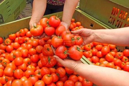Tomato in womens hands