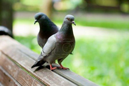 Photo pour Deux pigeons sur un banc en bois - image libre de droit