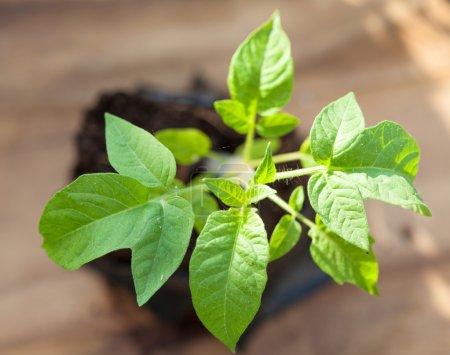 plant de tomate verte