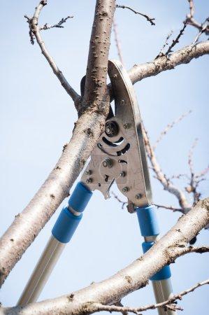 Photo pour Arbres fruitiers élagage avec sécateur - image libre de droit