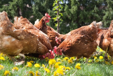Photo for Egg-laying hens in the yard - Royalty Free Image