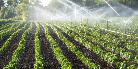 irrigation of vegetables