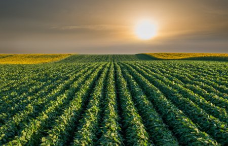 Photo for Soybean Field Rows in sunset - Royalty Free Image