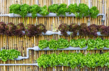 Photo for Organic hydroponic vegetables Vertical garden - Royalty Free Image
