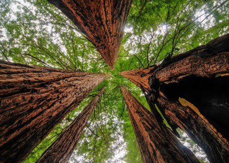 Photo for Sequoia Trees in Big Basin Redwoods State Park - Royalty Free Image