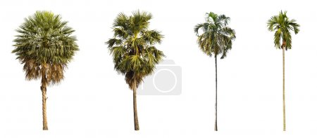 Photo for 4 types of palms tree on a white background. - Royalty Free Image