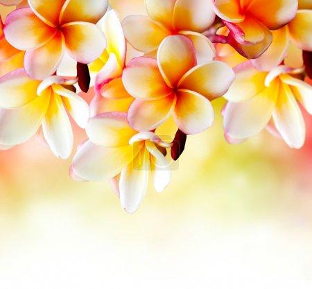 Photo pour Frangipani Tropical Spa Flower. Plumeria Bordure Design - image libre de droit