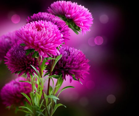 Photo for Aster Autumn Flowers Art Design - Royalty Free Image