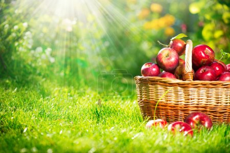 Photo for Organic Apples in the Basket. Orchard. Garden - Royalty Free Image