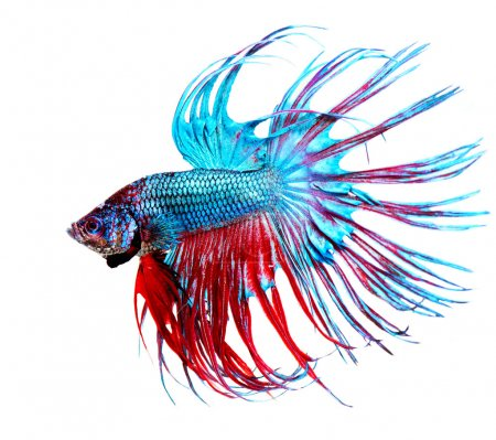 Betta Fish closeup. Colorful Dragon Fish