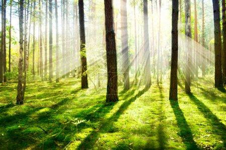 Photo pour Brouillard le matin. Forêt brumeuse et brumeuse - image libre de droit