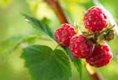 Raspberry. Growing Organic Berries closeup
