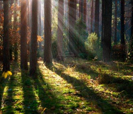 Photo pour Brumeuse vieille forêt. bois automne - image libre de droit