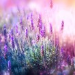 Lavender Flowers Field. Growing and Blooming Laven...
