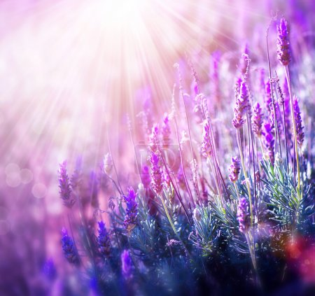 Photo for Lavender Flowers Field. Growing and Blooming Lavender - Royalty Free Image