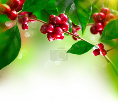 Photo for Coffee Plant. Branch of a Coffee Tree with Ripe Beans - Royalty Free Image