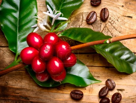 Coffee Plant. Red coffee beans on a branch of coffee tree