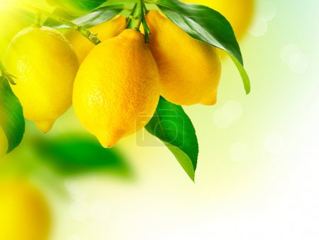 Photo for Lemon. Ripe Lemons Hanging on a Lemon tree. Growing Lemon - Royalty Free Image