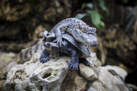 Crocodile is passion on a sleeping turtle...