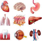 Human body parts detailed set