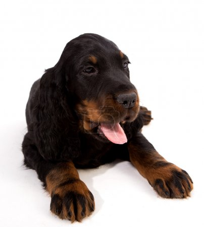 Young gordon setter puppy on white background in s...
