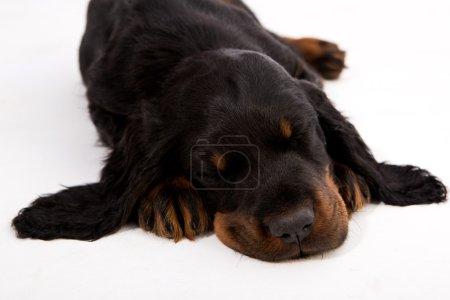 gordon setter puppy sleeping on white background, dog