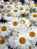 Velký bílý daisy kola kytice